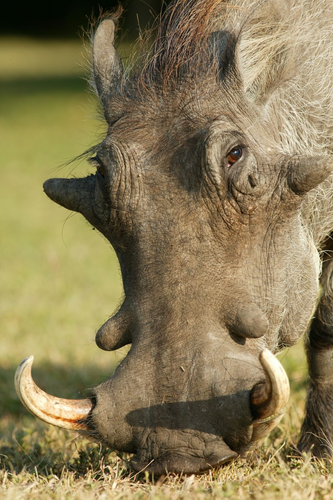 A desert warthod in Kenya. Photo (c) Martin Harvey/WWF-Canon