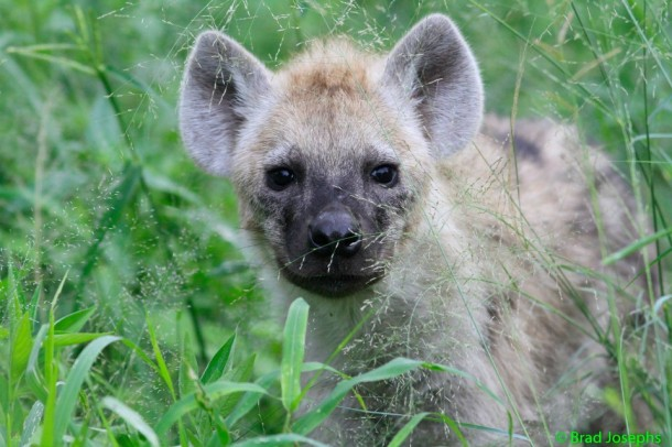 baby hyena pup photographed in Africa