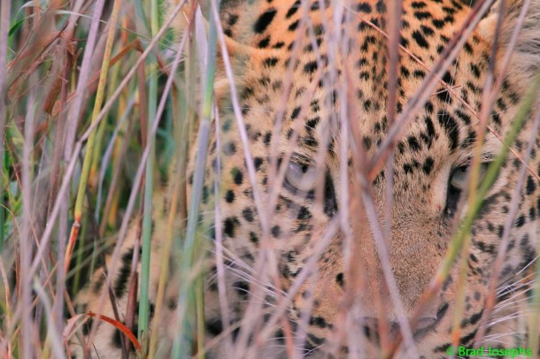 wild and exotic leopard photo in Botswana