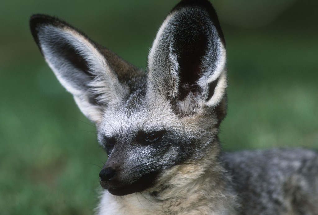Bat-eared fox. Photo (c) Martin Harvey/WWF-Canon