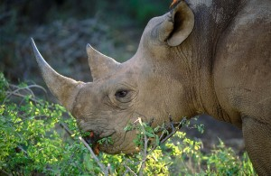 Black rhinos have a much more pointed jaw. Photo courtesy of South African Tourism