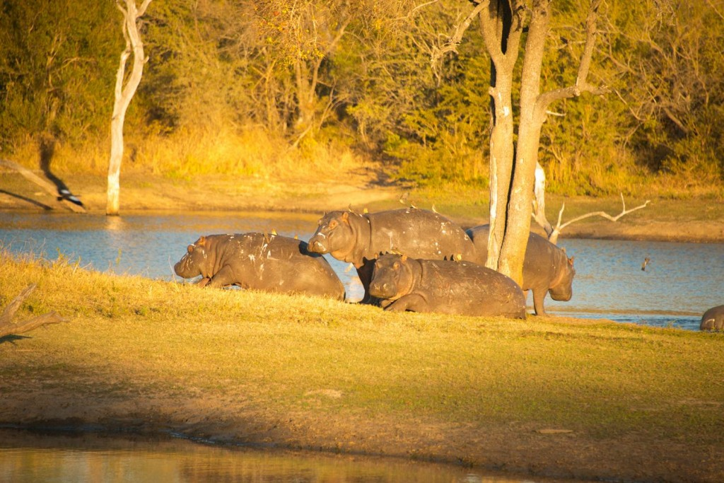 Hippos in South Africa. Photo © Denise Ramsey.