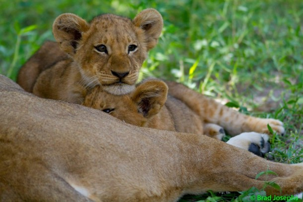 Lion cubs napping in Botswana