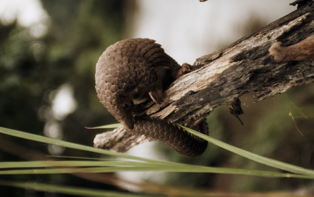 Tree pangolin. Photo (c)John E Newsby/WWF-Canon
