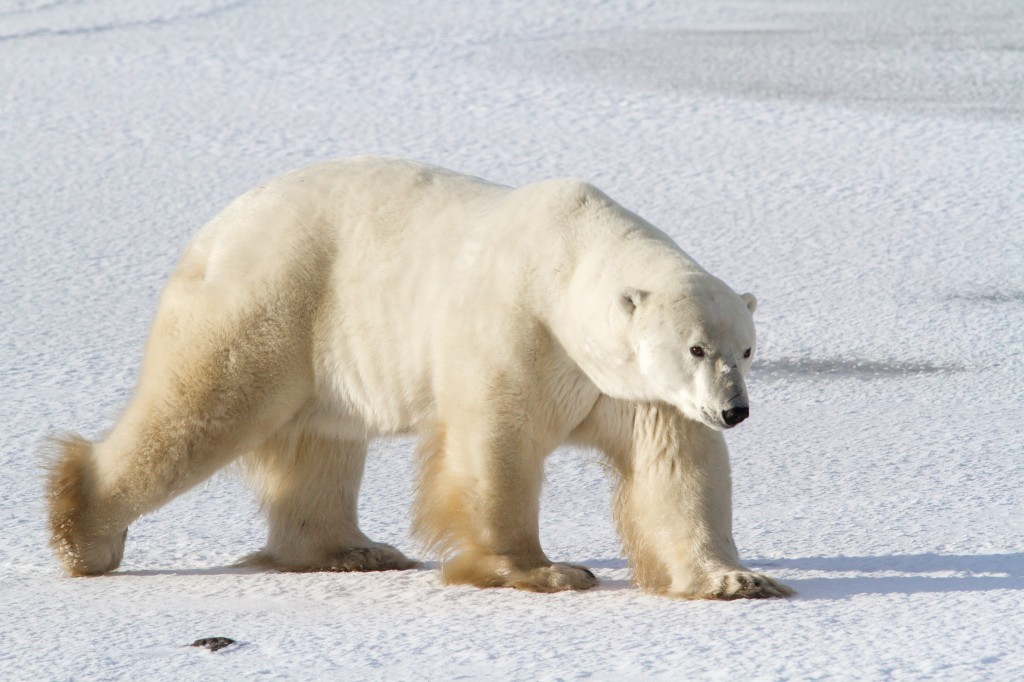 Polar bear walking on ice in Canada.