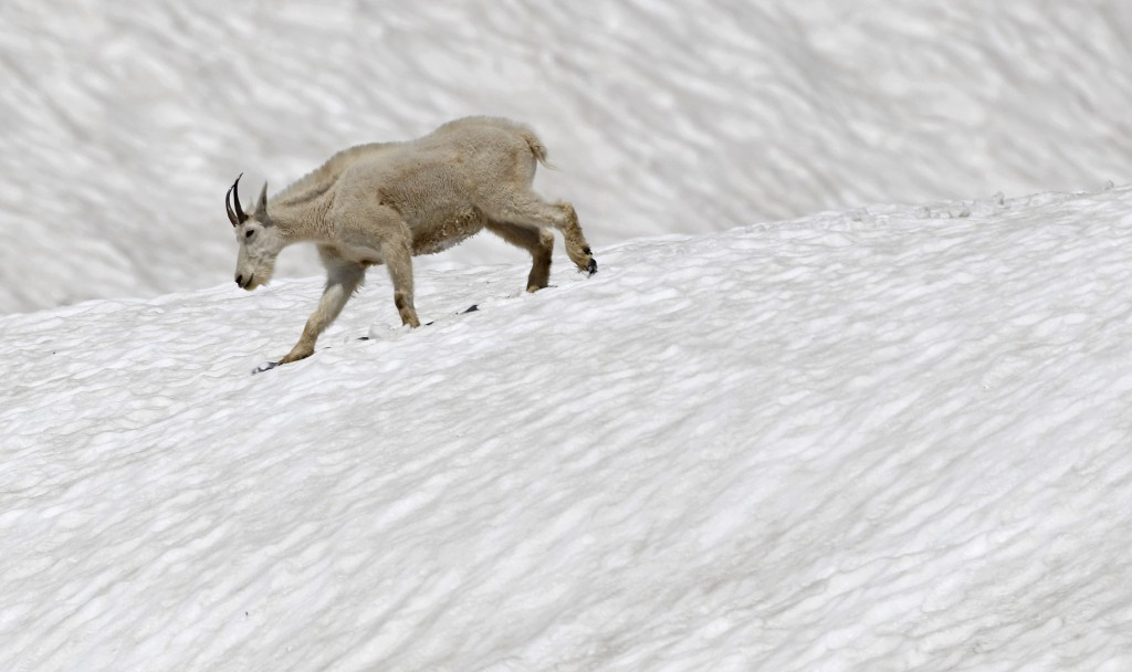 The mountain goat is an emblamatic animal in Glacier National Park. © Eric Rock/NHA