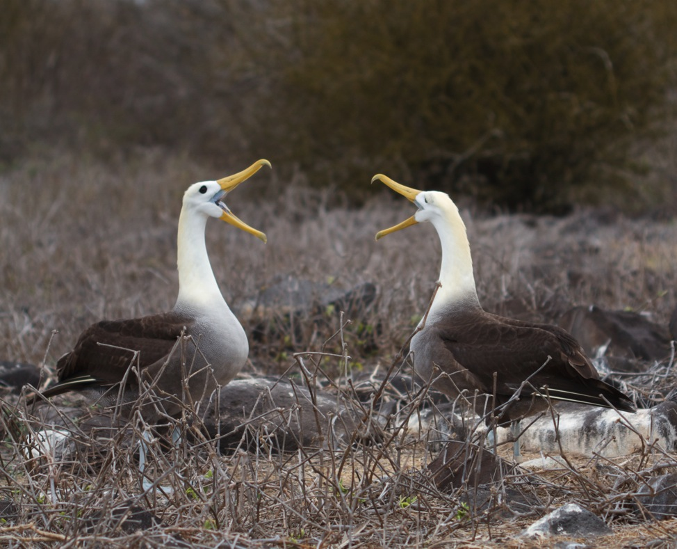 Waved Albatross, Mating Dance, Galapagos Islands