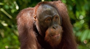 A Lifelong Love of Orangutans