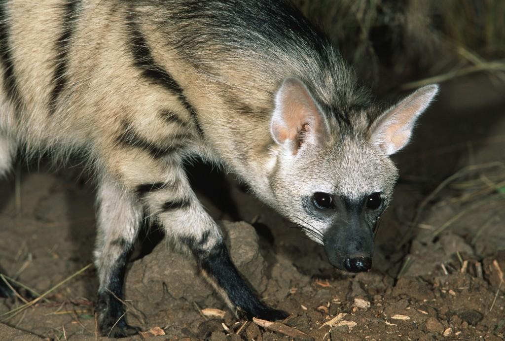 The nocturnal aardwolf preys on termites and can be found in southern and eastern Africa. © Martin Harvey/WWF-Canon