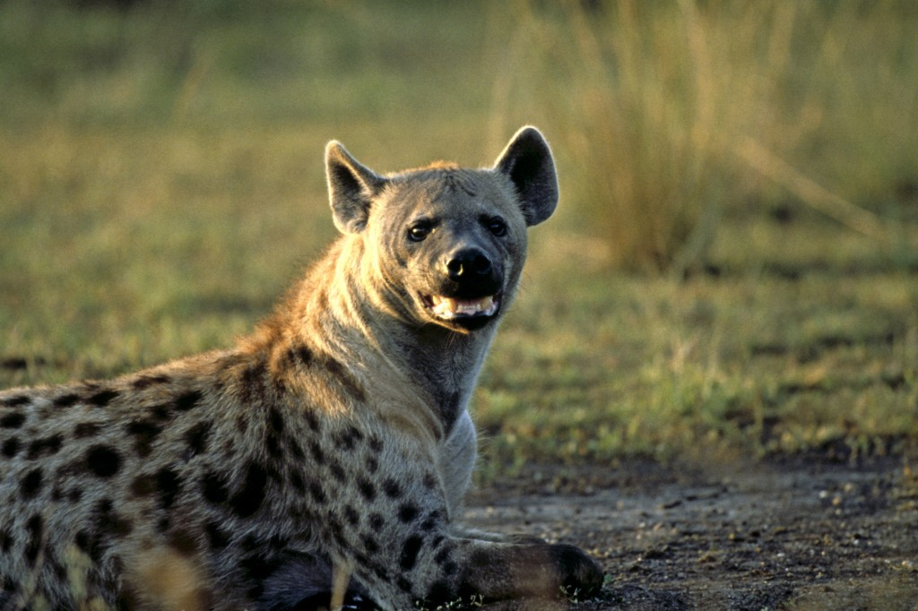 Spotted hyena © Howard Buffett/WWF-US