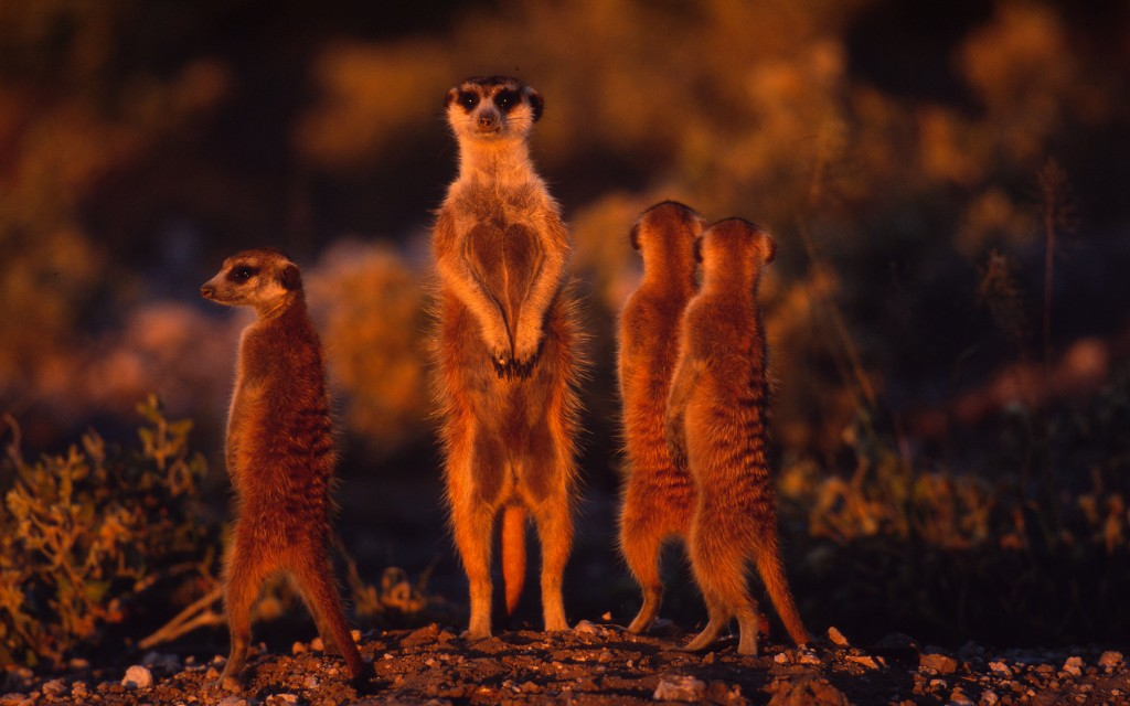 Meerkats standing upright to gain wider view of area Arid western areas of Southern Africa. © Martin Harvey/WWF-Canon