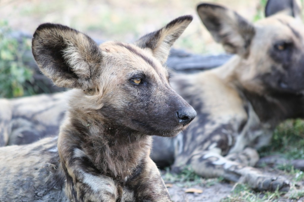 African wild dog photo, Linyanti Reserve in Botswana