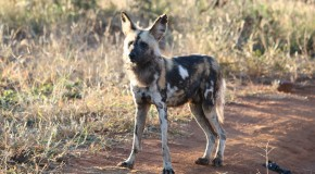 Wild Dogs: A Rare Encounter in Botswana