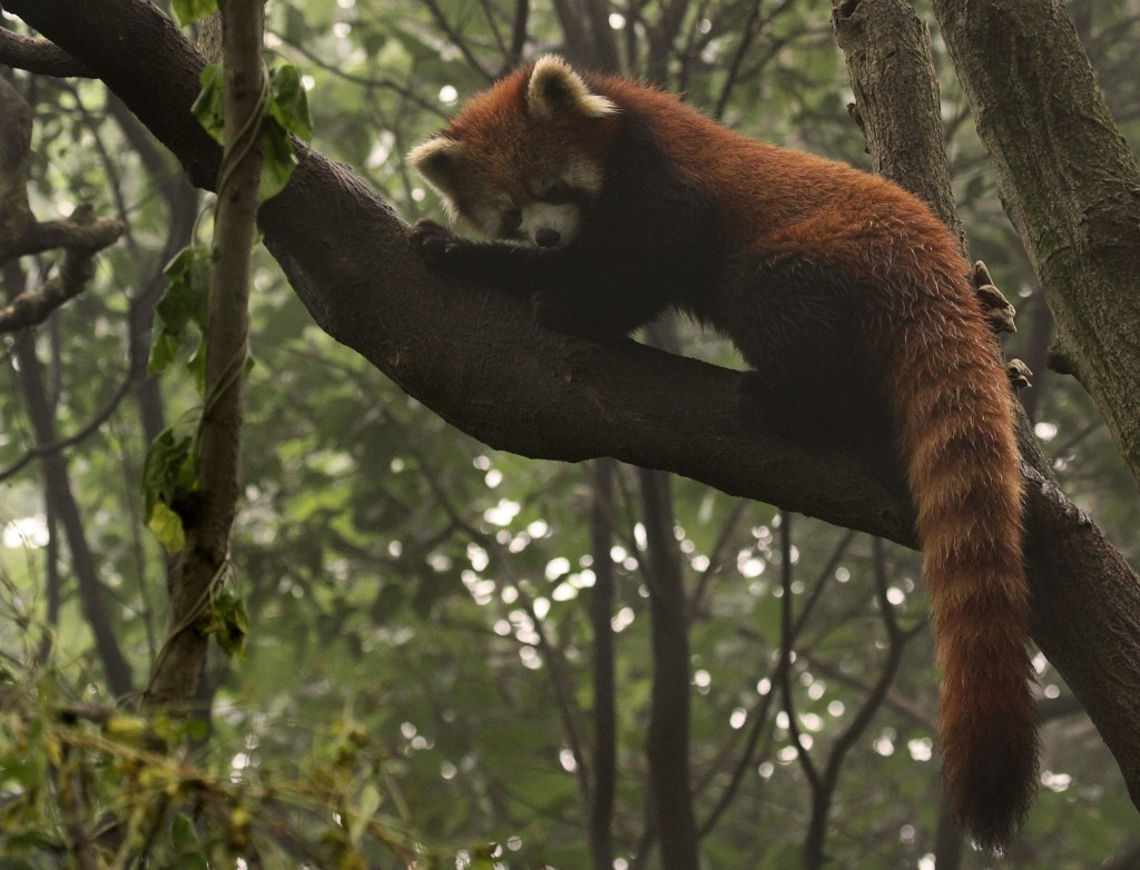 Red panda climbing in China © Melissa Scott/NHA