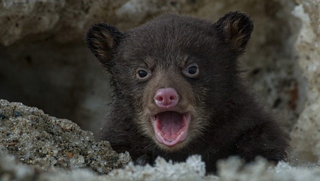 PeterMather-black-bear-cub
