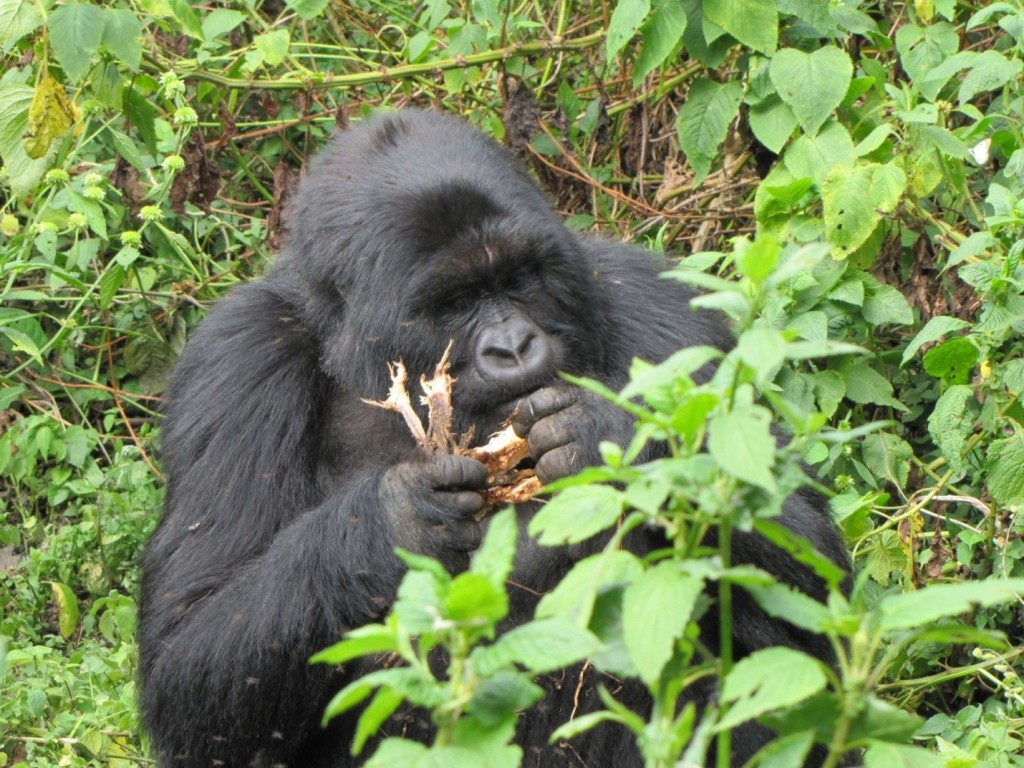 Face to face with a mountain gorilla in Rwanda, Volcanoes National Park