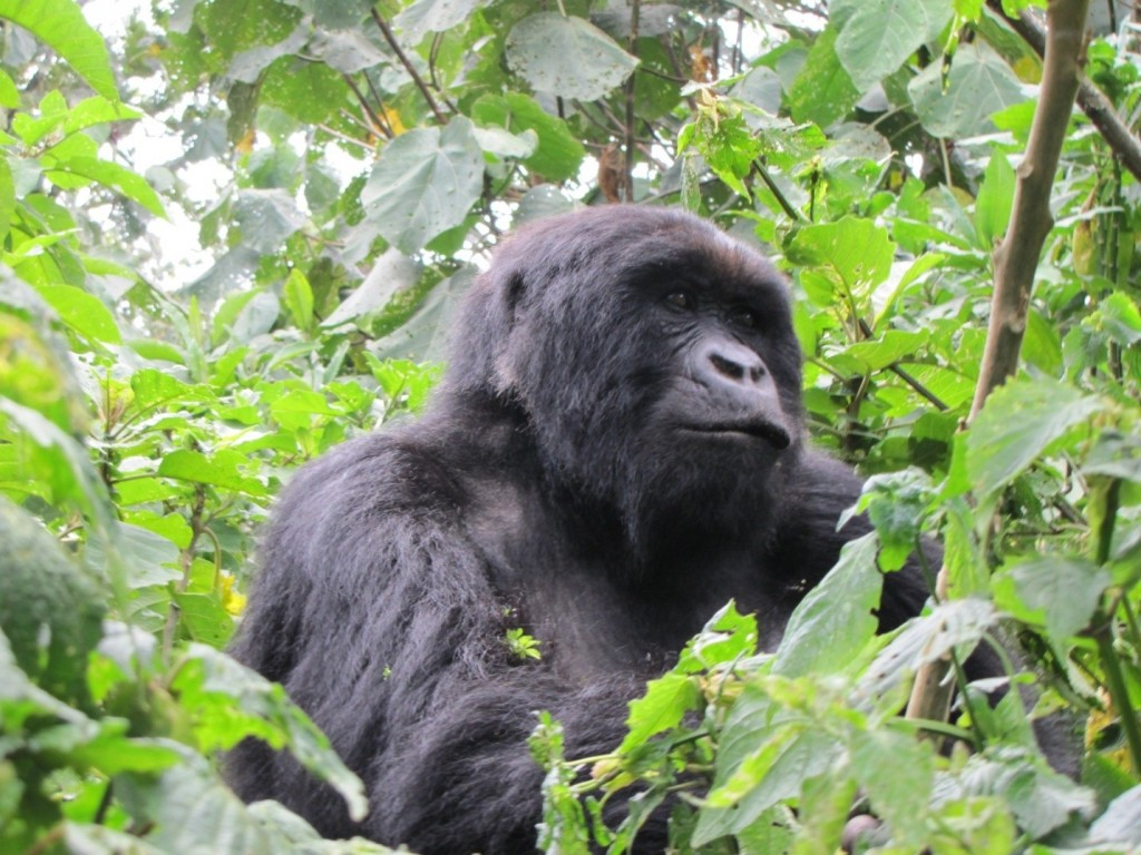 male mountain gorilla, Rwanda, Volcanoes National Park