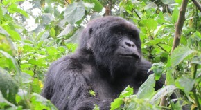 Travel Tales: Face to Face With The Mountain Gorillas Of Rwanda
