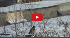 Video: A Crow Invents a Sled