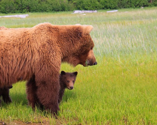 picture of grizzly bear and cub