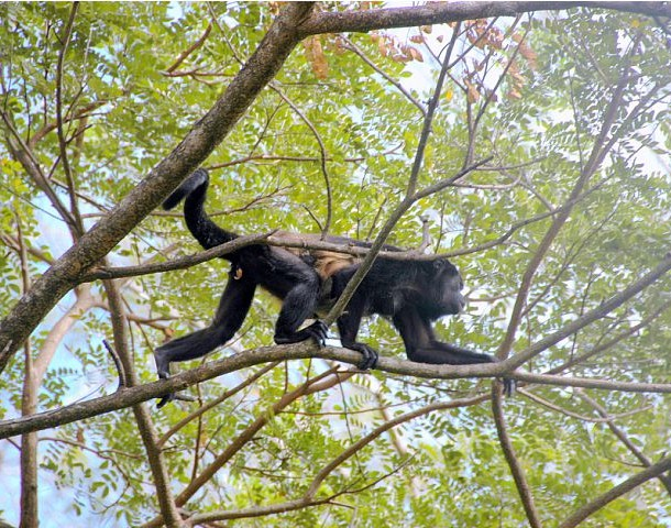 Howler monkey and baby in Costa Rica