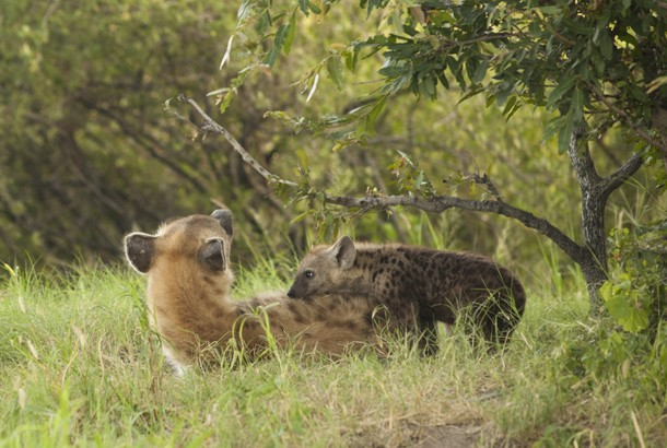picture of mother hyena and baby