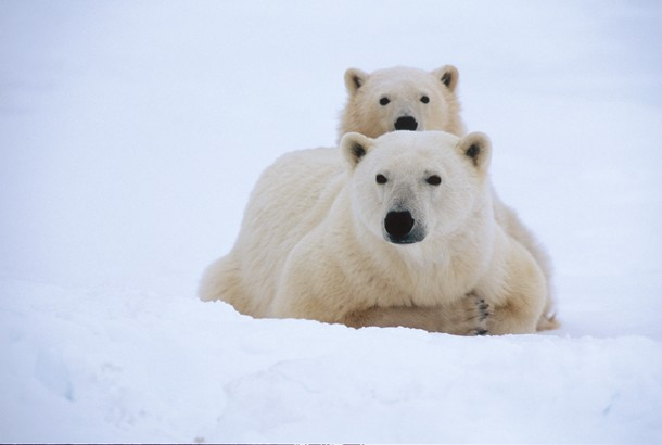 picture of polar bear and cub