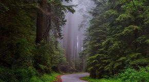 Poaching of a Different Kind: Stealing Our Redwoods