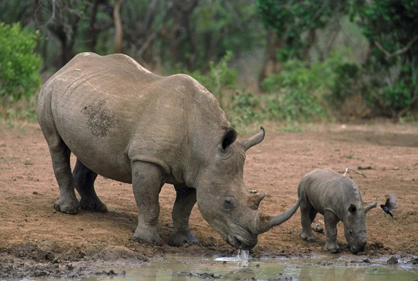 picture of rhino and baby drinking water