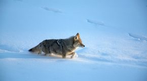 Urban Coyotes: Pet Threats or Ecosystem Equalizers?