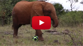 Video of the Week: Orphaned Elephants Celebrate World Cup 2014