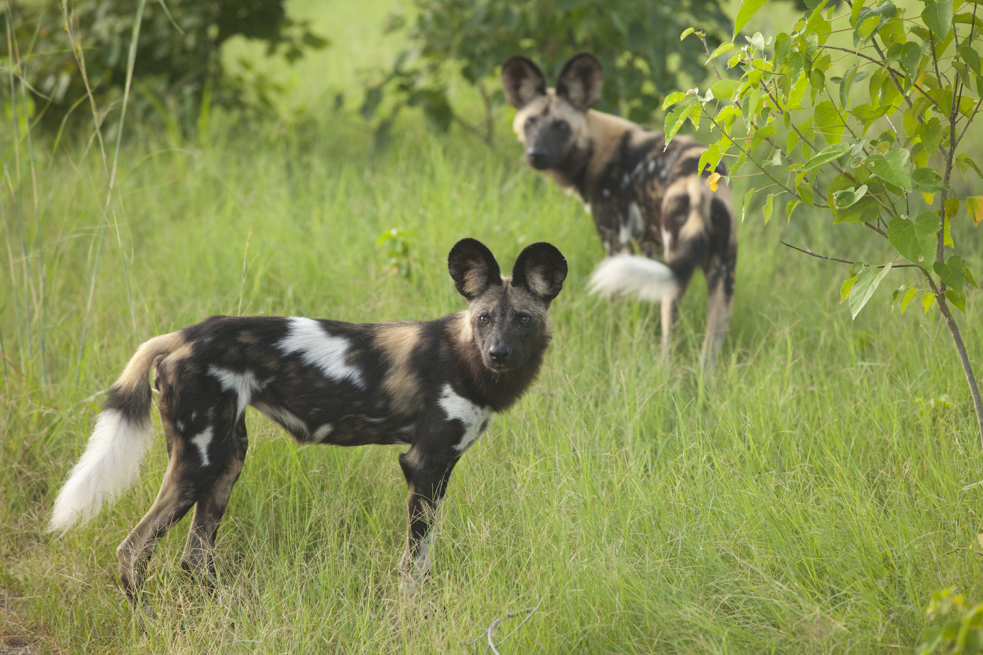 Ten Facts about the African Wild Dog