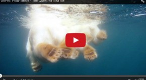 Video of the week: Polar Bear Quest for Sea Ice