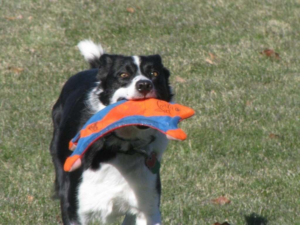 Border collie with frisbee