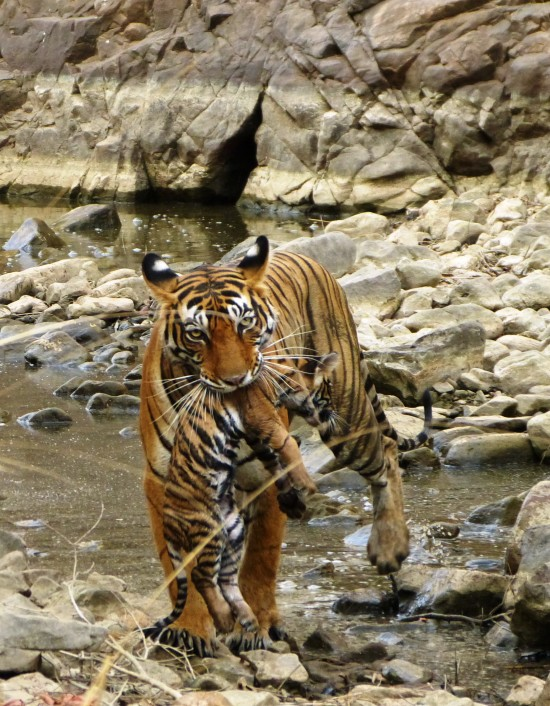 See Our Guest's Baby Tiger Photos from India!
