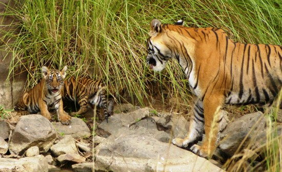 Mama tiger shows off her twin cubs, less than three months old, on our India wildlife photo safari. Photo by Nat Hab guest Rita Russell.