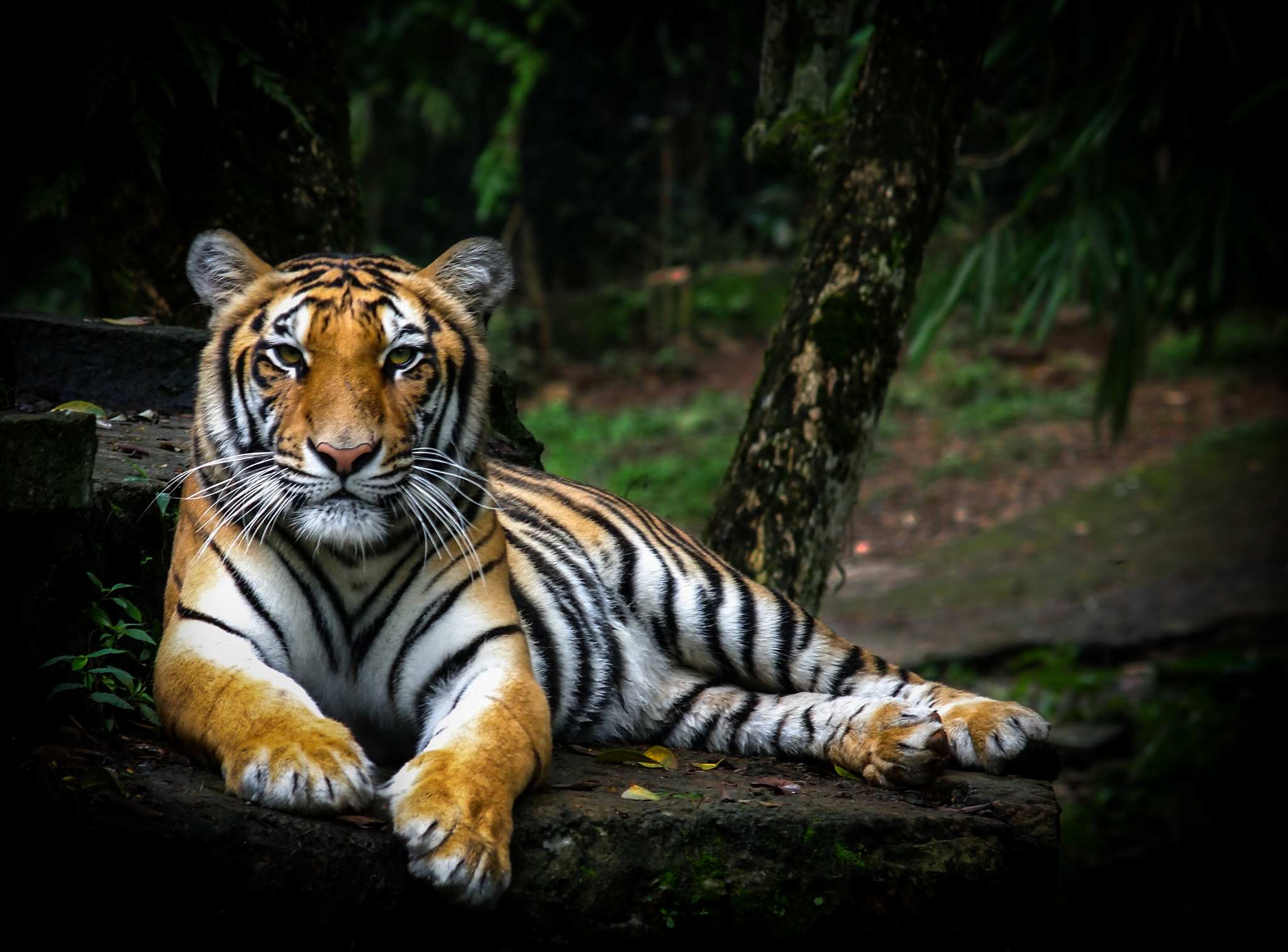 International Tiger Day, regal Sumatran tiger, resting, at peace, wilderness, beautiful stripes