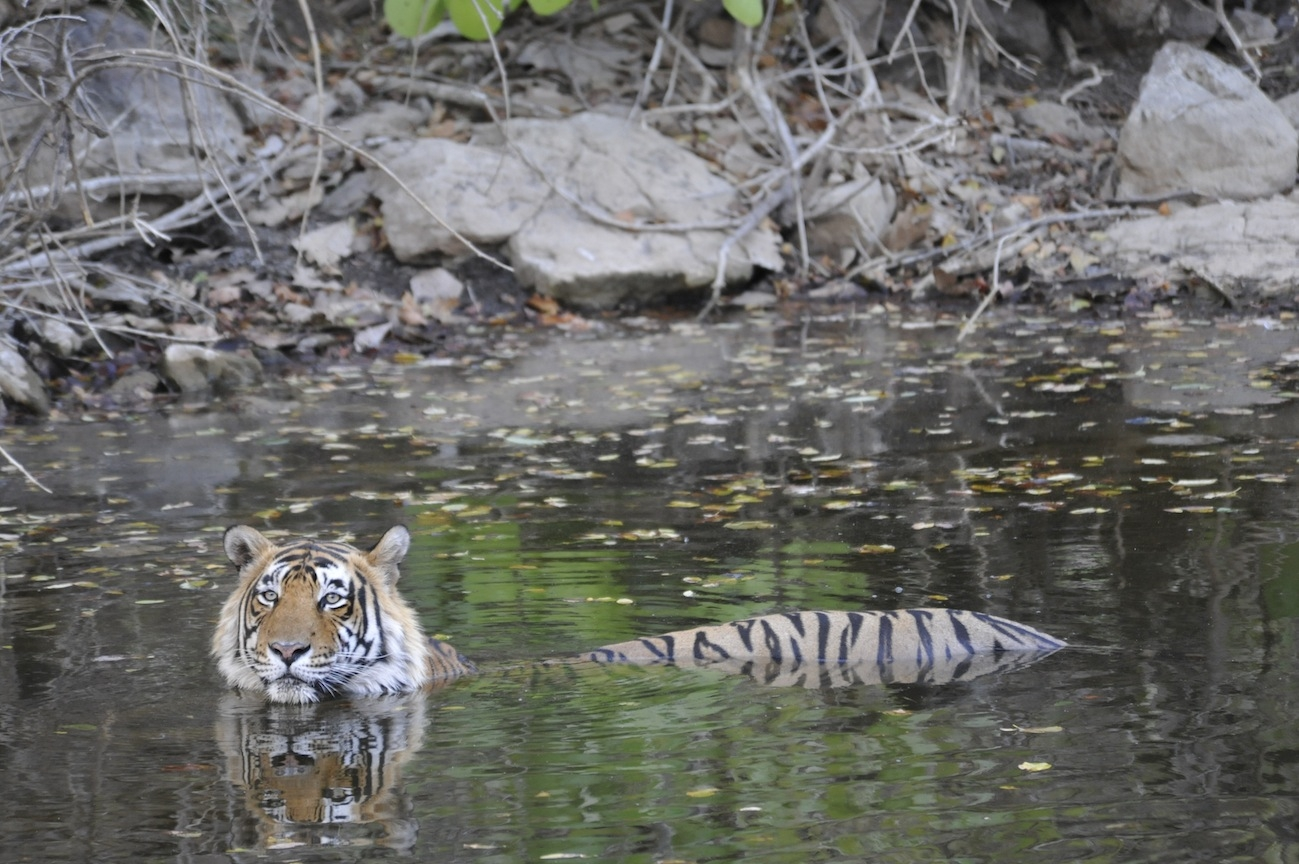 International Tiger Day, tiger swimming, half submerged, India, Natural Habitat Adventures