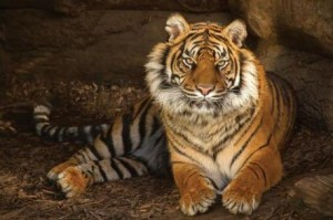 International Tiger Day, Daseep, Dudley Zoo, tiger, regal
