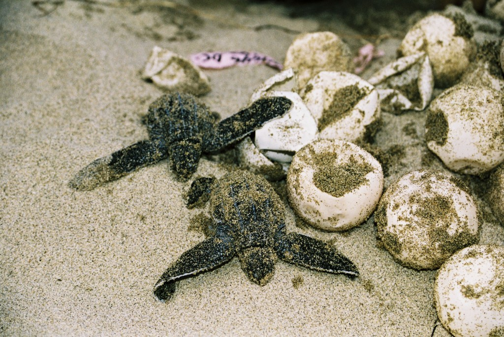 Leatherback turtle nest with hatchlings in Panama. © Tanya Peterson/WWF-Canon