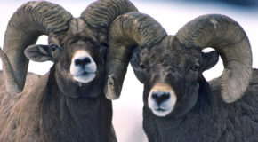 Bam Bam the Ram: Is Feeding Wildlife Ever OK?
