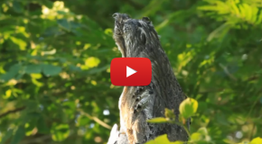Video: Potoo Bird in Full Camo
