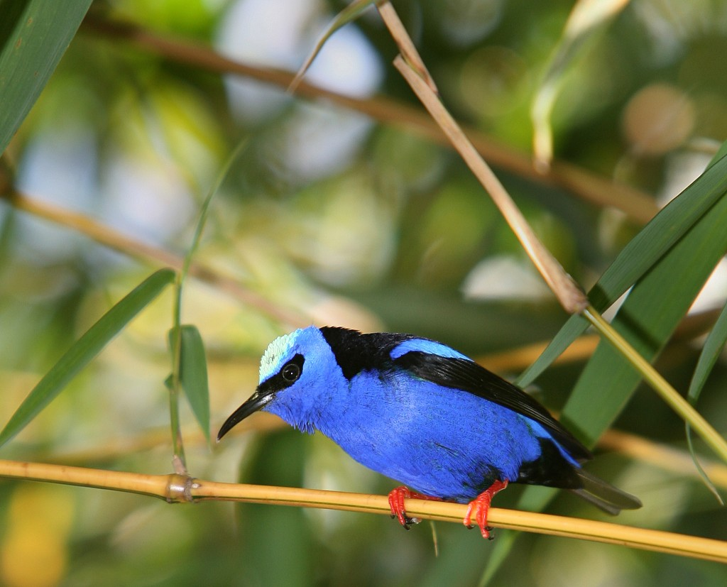 While in Panama, search for hundreds of bird species, including the red-legged honeycreeper. © Eric Rock/NHA