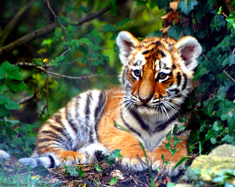 International Tiger Day, tiger cub, adorable, cute, fluffy, inquisitive, baby animals