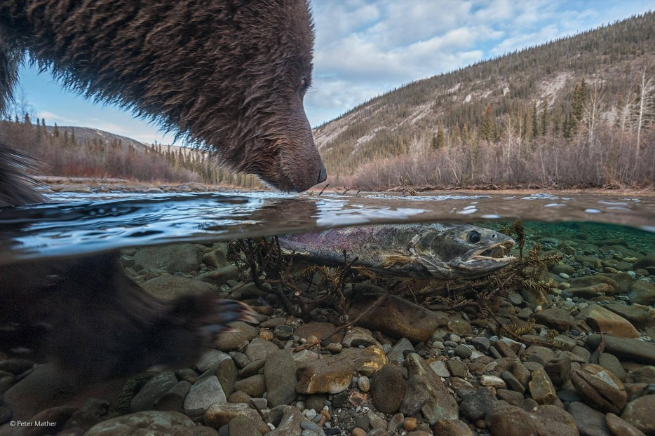 grizzly bears, dead salmon, Wildlife Photographer of the Year 2014, what's this, river