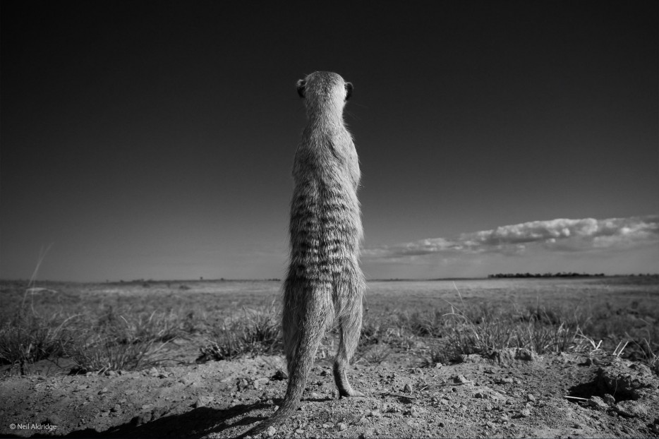meerkats, Wildlife Photographer of the Year 2014, sentry duty, Africa, openness
