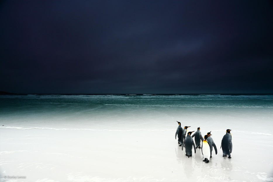 king penguins, Wildlife Photographer of the Year 2014, Antarctica, white sand beaches, foreboding, ocean