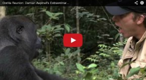 Video of the Week: A Gorilla Reunion