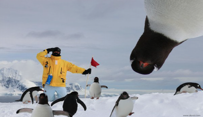 penguin upside down looking at camera in Antarctica, guest wearing a yellow coat holding a red flag surrounded by penguins