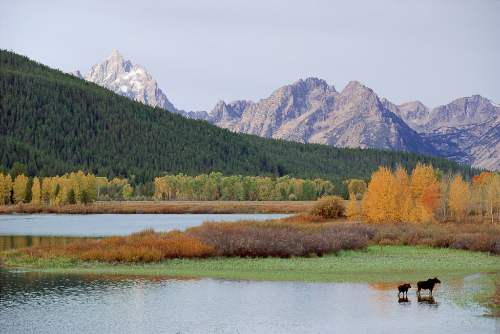 Moose cow and calf at Oxbow Bend of the Snake River, Grand Teton National Park, Wyoming, mountain range, National Parks, Grand Tetons, moose, baby moose, fall colors